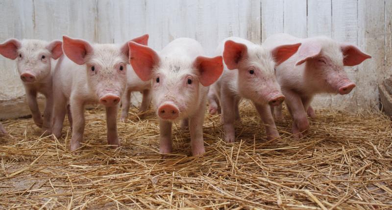 Доля тамбовской свинины в общероссийском производстве составляет 4,7 процента.