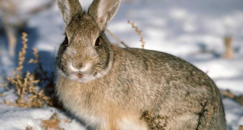 За день каждый охотник вправе добыть одного зайца.