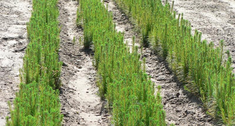 Выращивание посадочного материала 54
